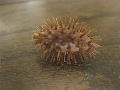画像2: オオオナモミ